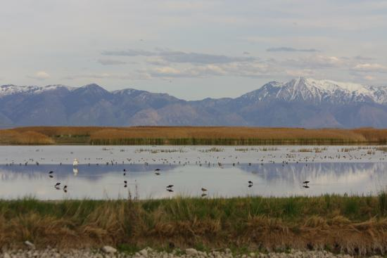 Brigham City, UT: ibis and many other beautiful birds