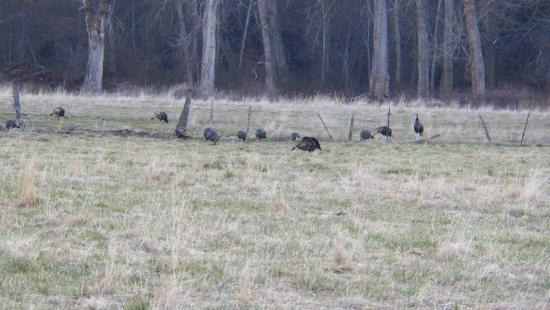 Milton Freewater, Oregón: Just 1 of the Wild Turkey Flocks in the Area