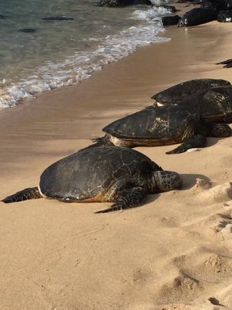 All Maui Private Tours: Giant turtles ashore, costal Maui