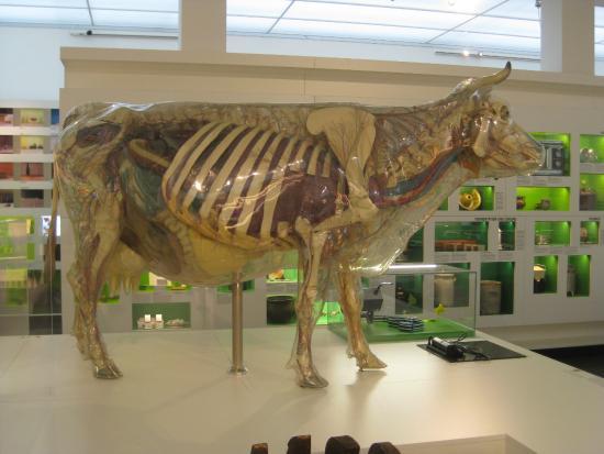 Deutsches Hygiene-Museum: Gläserne Kuh