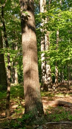 Catoctin Mountain Park: Chestnut Oaks