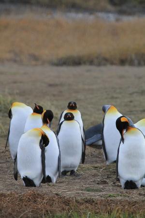Огненная Земля, Чили: Pingüinos del lugar