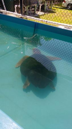 One of the turtles before surgery for Fibropapiloma