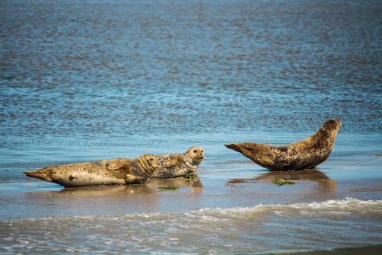 Seehundbänke vor Ameland - Picture of De Zeehond - Seal Boat Tour ...