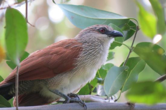 Migunga Tented Camp: A White-browed Coucal, one of many birds found in the area