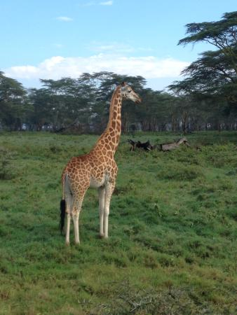 Lake Nakuru National Park, Kenia: One of the many Rothschild giraffes one can see