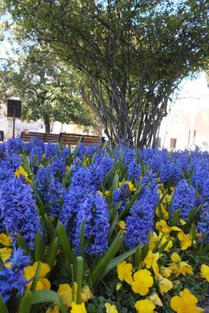 Topkapi Palace: Hyacinthus Orientalis fragrant flower