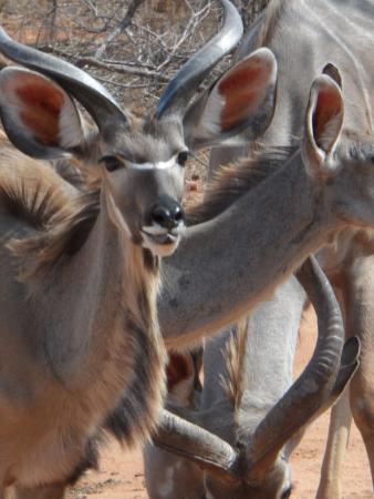 Shikwari Game Reserve: Shikwari Wildlife - Kudu