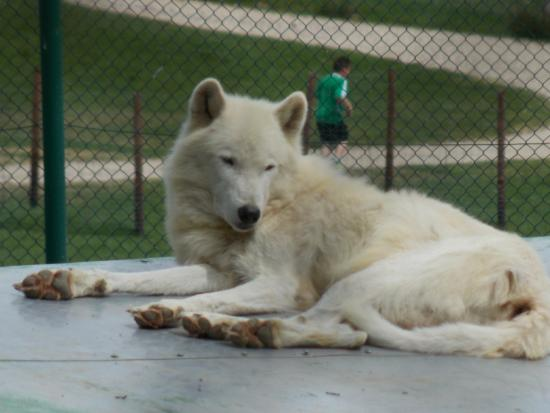 Schnee Wolf