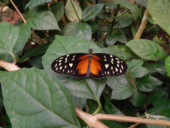 El Castillo, Costa Rica: Vlinder, diverse soorten