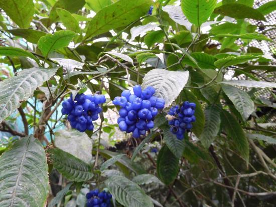 El Castillo, Costa Rica: Bijzondere plant met bes