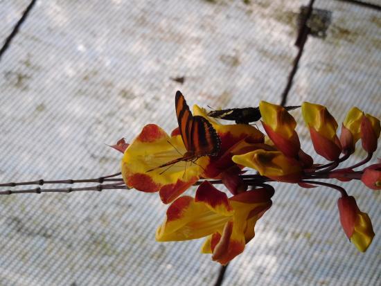 El Castillo, Costa Rica: Bloem met vlinder