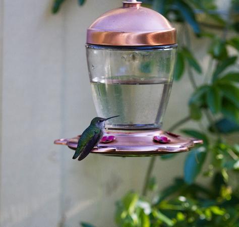 Forestville, Kalifornia: Hummingbird at the feeder