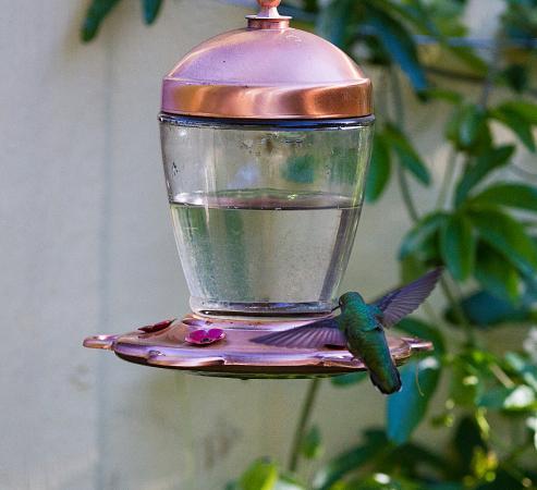 Forestville, CA: Hummingbird hovering
