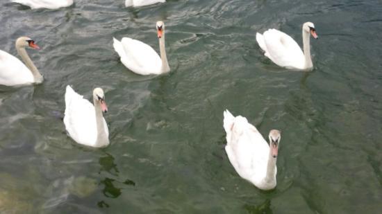 Gmunden, Avusturya: Swans lake