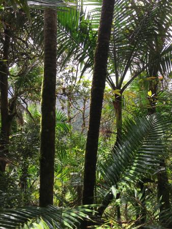 Island Walkers - El Yunque : Amongst the trees