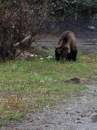 Num-Ti-Jah Lodge: Tom Cruise, one of the two young grizzlies on the property.
