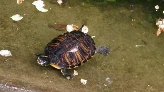 Lo stagno con le tartarughe foto di acquario civico for Stagno per tartarughe