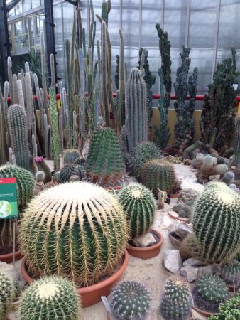 Kaktusy Z Fotelem Teściowej Na Pierwszym Planie Picture