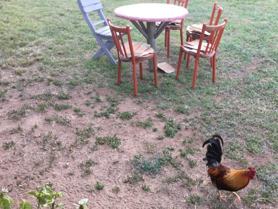 Mad Dog Cafe: [One of] the resident roosters that mingles about the grounds herding the chickens.