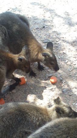 Val de Reuil, Fransa: Le goûté des wallabys
