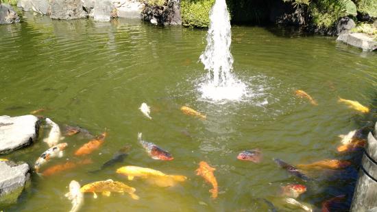 San Mateo, Καλιφόρνια: Good luck gold fishes