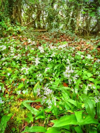 Aghnablaney, UK: Wild garlic growing in the woods!