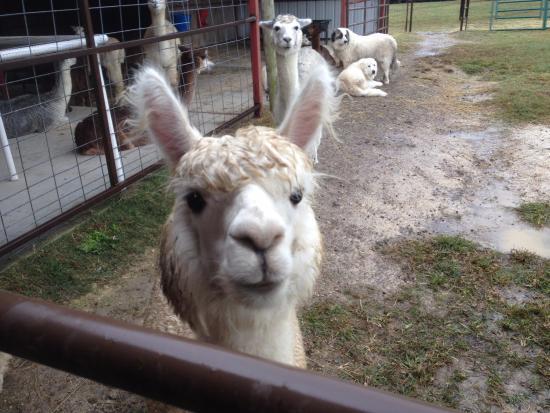 Adairsville, GA: Очень милые альпаки! Но за уши трогать нельзя