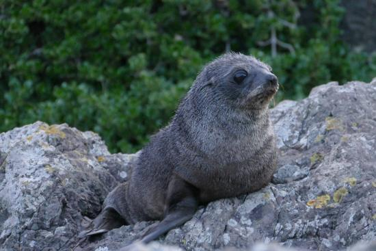 Wairarapa, Selandia Baru: Seal Pup