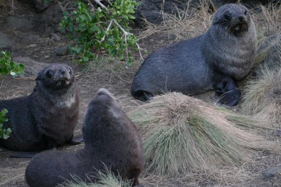 Wairarapa, Selandia Baru: Seal Pups