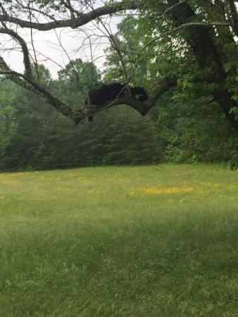 Imagination Mountain Camp-Resort: Bears on tree limb in cases cove.