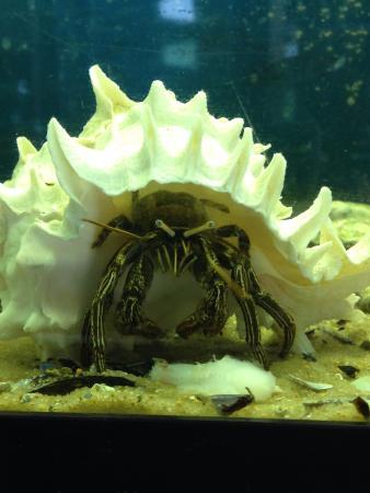 Rockport, TX: Thinstripe Hermit Crab