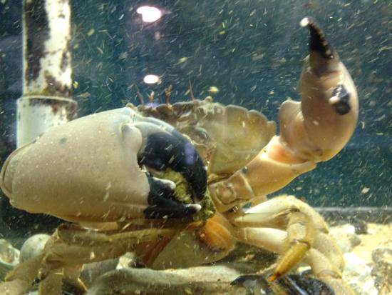 Rockport, TX: Stone Crab