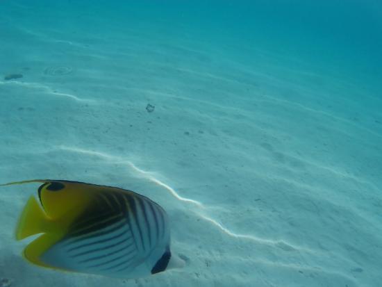 Moorea, Fransk Polynesien: Se pueden observar peces muy bonitos