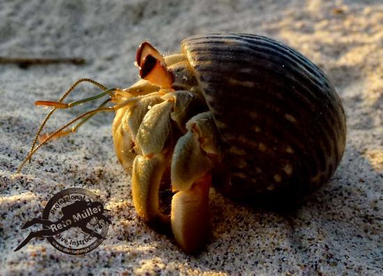 "Taganga, Κολομβία: ""Hermit crab"""