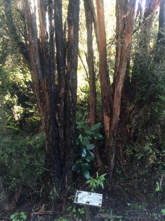 McLean Falls: Manuka tree