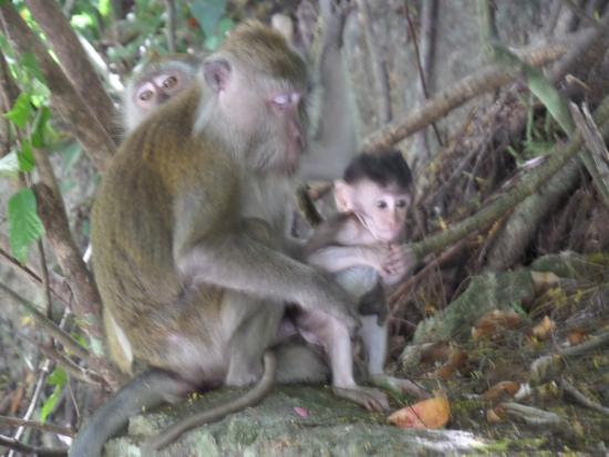 Langkawi Tour - Day Tours: Mama Protecting Her Baby; They were in the wild!
