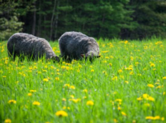 Washington, VT : Gotland sheep grazing.