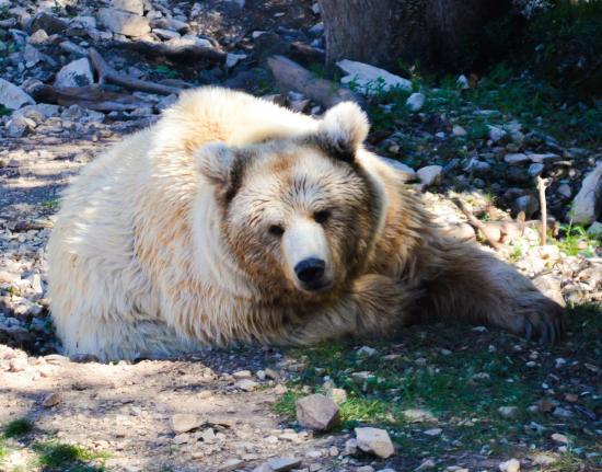 Gros nounours photo de parc zoologique henri de lunaret - Gros nounourse ...
