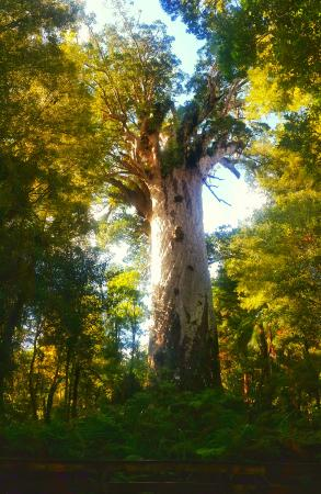 Opononi, Nova Zelândia: Tane Mahuta - one of the oldest Kauri trees, certainly the biggest in this part of the world.