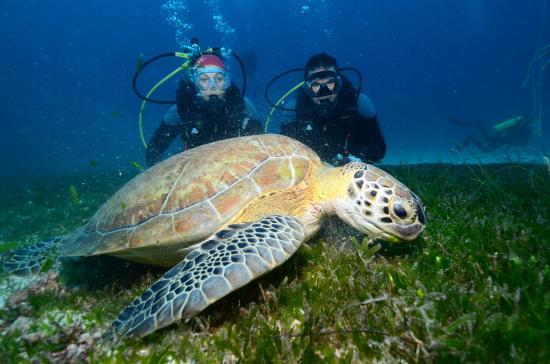 Baie de Simpson, Saint-Martin : Sea Turtle photo bomb