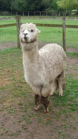 Pennybridge Farm Alpacas