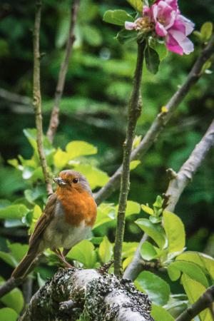 Romansleigh, UK: Resident friendly robin amongst the apple blossom