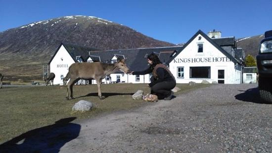 Kings House Hotel: Feeding the Deer.