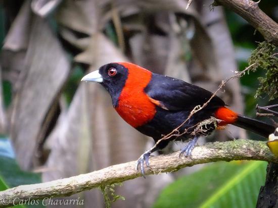 Costa Rica Nature Pavilion : Se puede observar facilmente un Sangre de Toro.