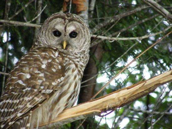 Bowser, Kanada: Owl in the woods