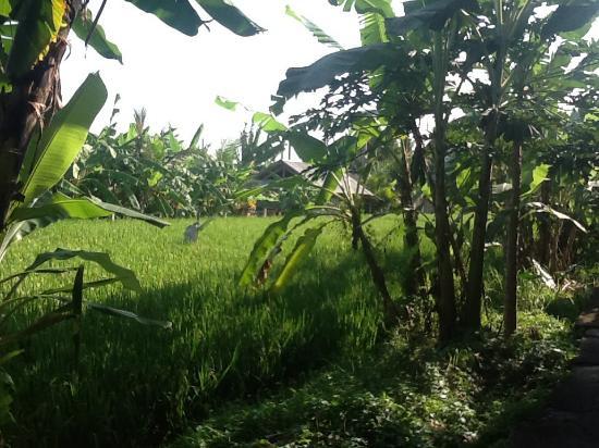 Sadguna Homestay: Rice field just Infront of Sadguna
