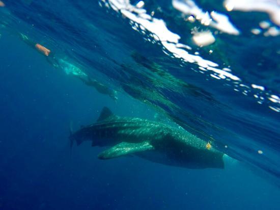 Cancun Whale Shark Tours Tripadvisor