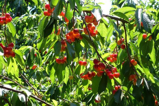 Villa Del Sol Sweet Cherry Farms