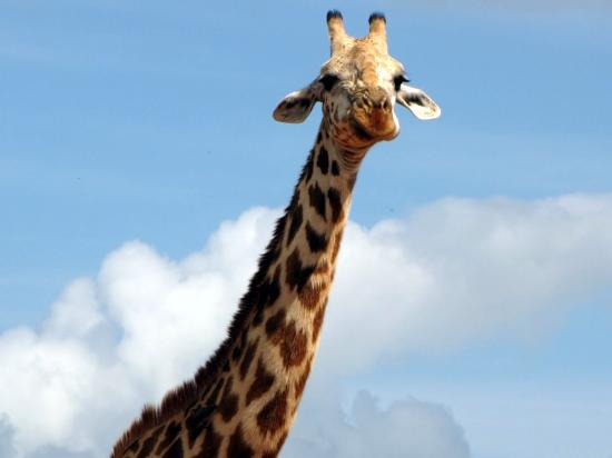 African Memorable Safaris: Giraffe with long neck at tsavo east. Mombasa road safaris, Kenya